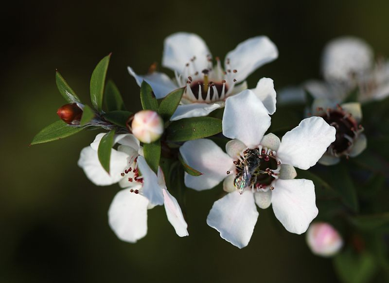 800px-Manuka_flowers_and_native_bee (1)