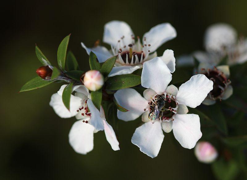 800px-Manuka_flowers_and_native_bee (1)