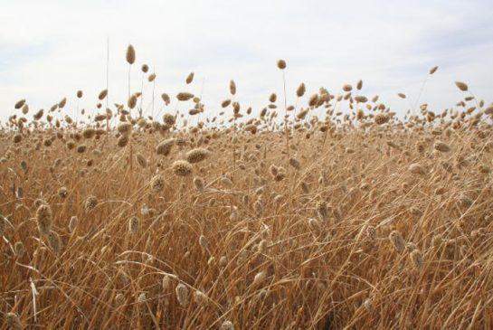 canaryseed.jpg.size.xxlarge.promo