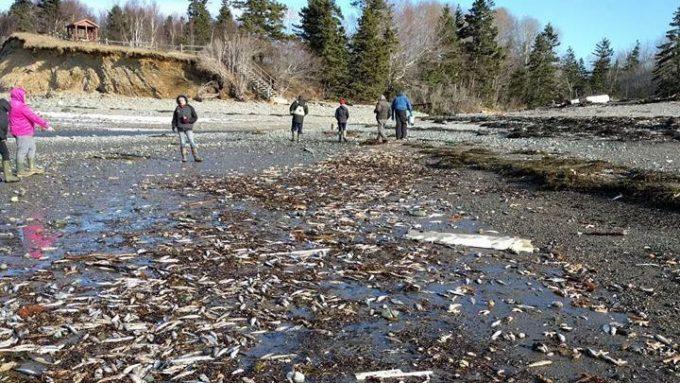 カナダ大西洋側で魚介類が謎の大量死!一カ月以上続き、事態は悪化だそうです・・